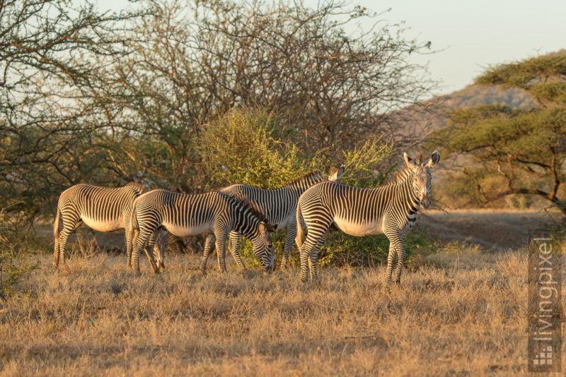 Grevyzebra (Grévy's zebra)