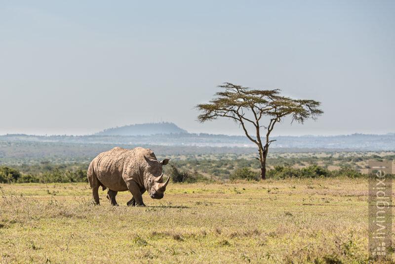 Breitmaulnashorn (White rhinoceros)