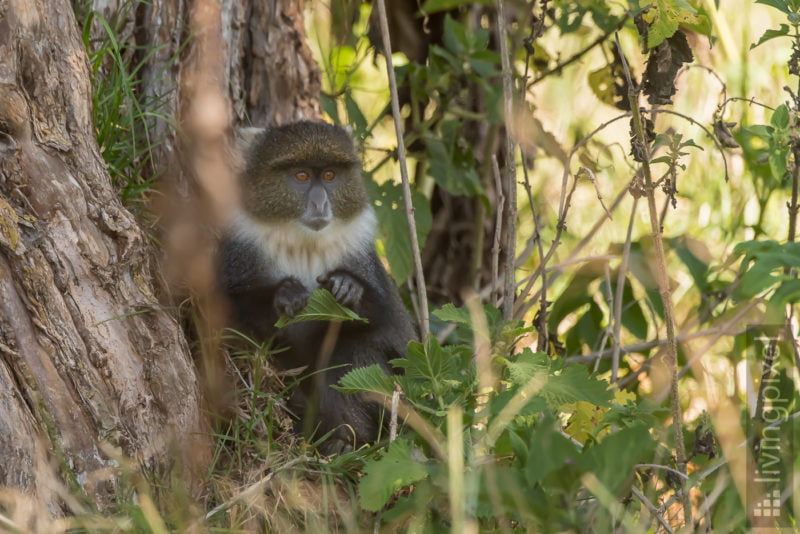 Weißkehlmeerkatze (Sykes' monkey)