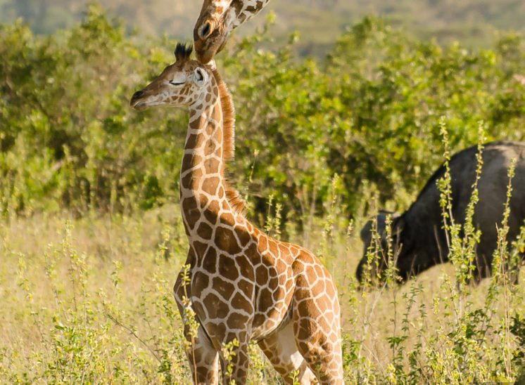 Giraffe (Giraffe)