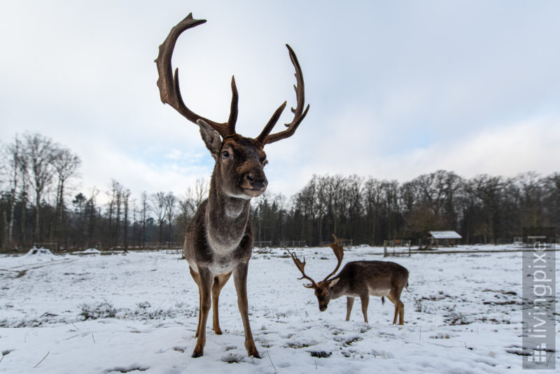 Damhirsch (Fallow deer)