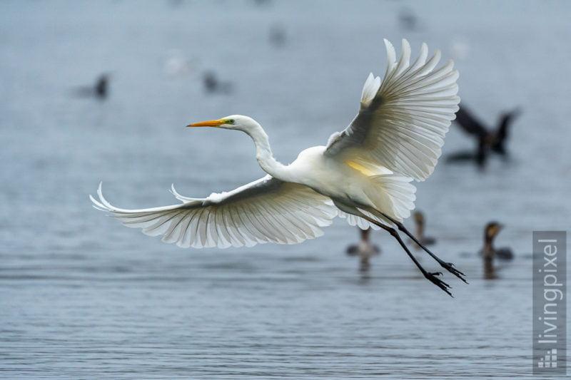 Silberreiher (Great egret)