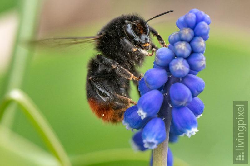 Steinhummel (Red-tailed bumblebee)