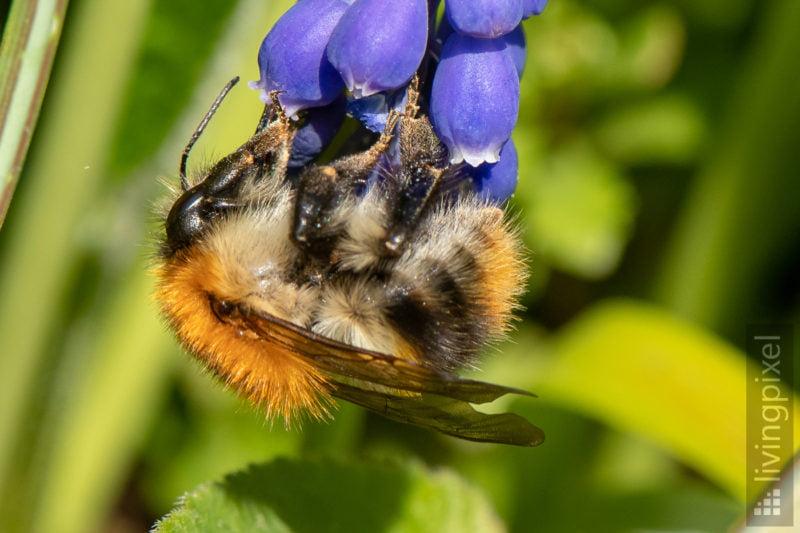 Ackerhummel (Common carder bee)