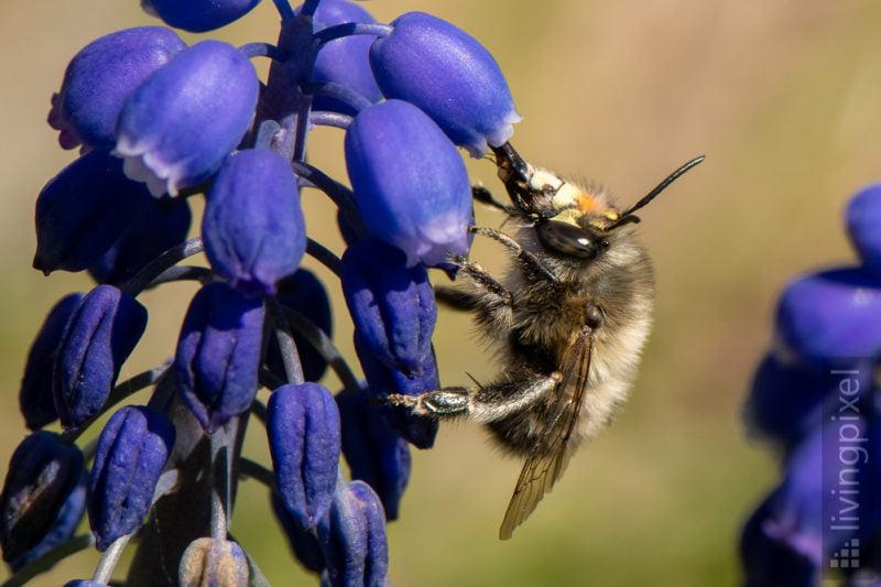 Frühlings-Pelzbiene (Hairy-footed flower bee)