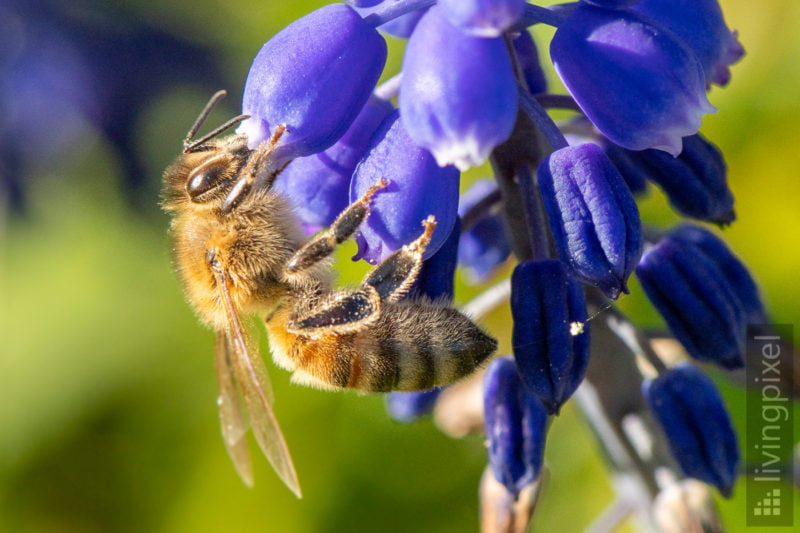 Westliche Honigbiene (Western honey bee)