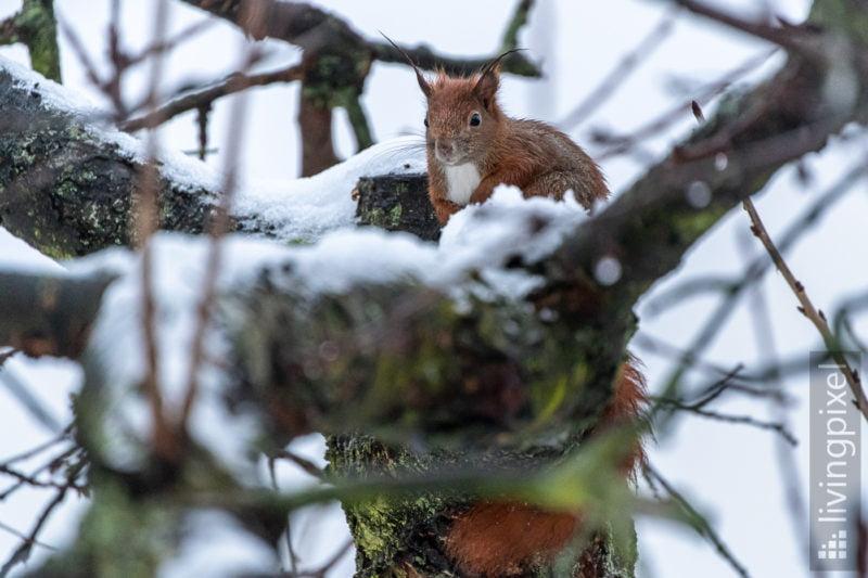 Eichhörnchen (Eurasien red squirrel)