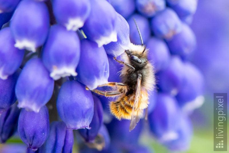 Gehörnte Mauerbiene, männl. (European orchard bee)
