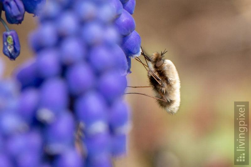 Großer Wollschweber (Large bee-fly)
