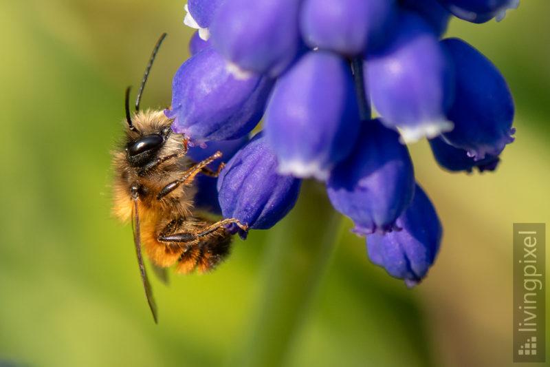 Rostrote Mauerbiene, männl. (Red mason bee)