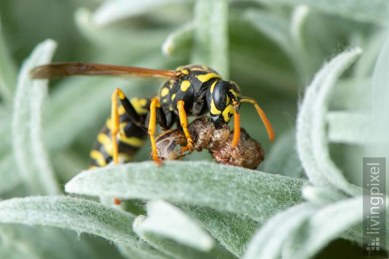 Haus-Feldwespe (European paper wasp)