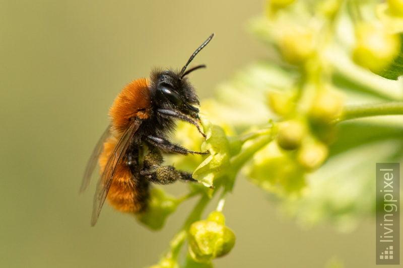 Rotpelzige Sandbiene (Tawny mining bee)