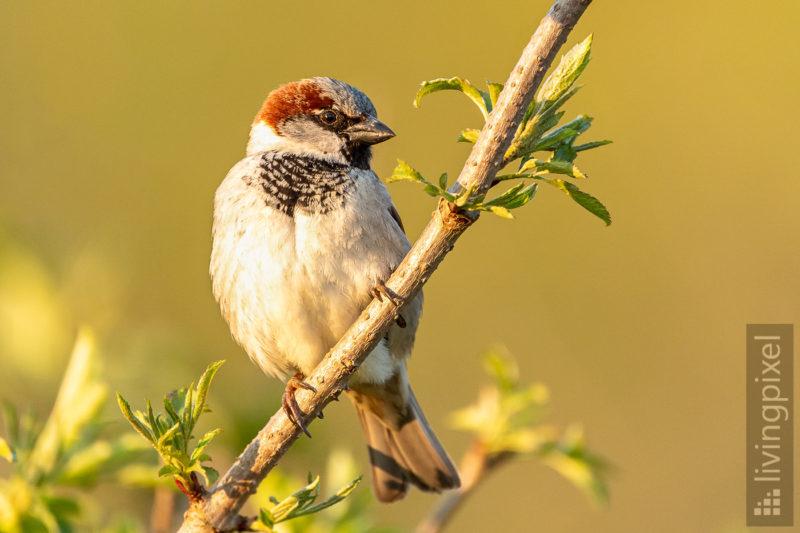 Haussperling (House sparrow)