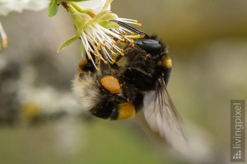 Dunkle Erdhummel (Buff-tailed bumblebee)